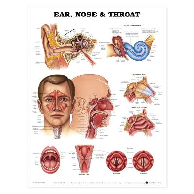 Ear, Nose and Throat Poster